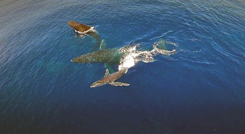 Drone Captures Remarkable Footage Of A Whale Family: It Makes You Think About What We've Done