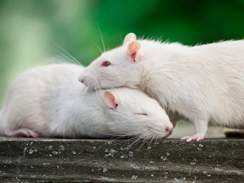 What Would A Rat Do: Rescue And Save Another Or Go For The Food?