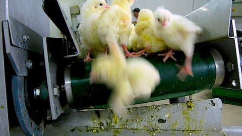 Huge Victory! Largest Egg Hatchery In US WIll Stop Culling Male Chicks by 2020