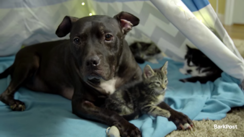 Video: Pit Bull Rescued From Dog Fighting Ring Now Cuddles Kittens