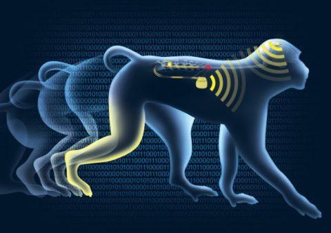 Wireless Brain Implant Allows Paralyzed Primates To Walk Again