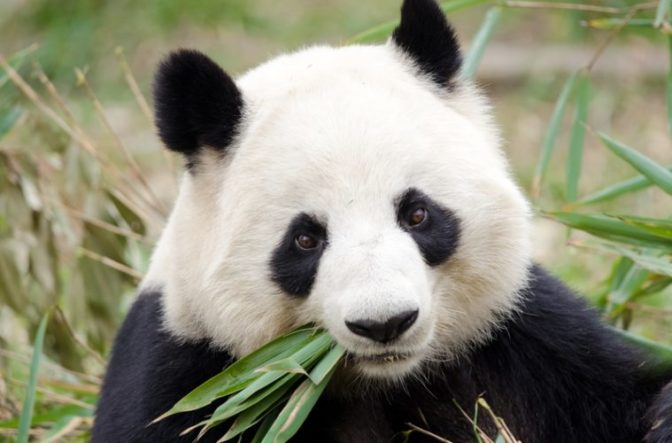 11 Good News Stories You Probably Didn't Hear About Panda759x500-672x443