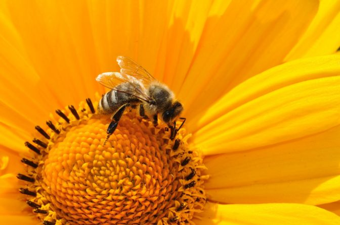 Can Agnihotra Save the Honeybee? Bee-170551_1280-672x446