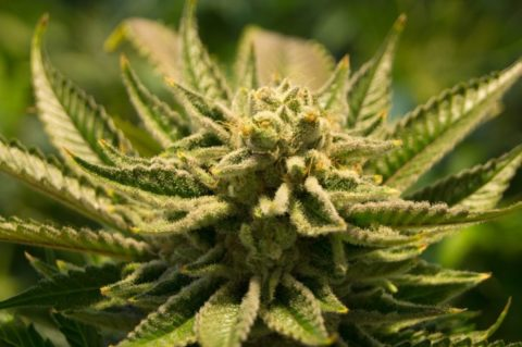 Groundbreaking Study Confirms Cannabis Has 'Significant' Effect on Killing Cancer Cells