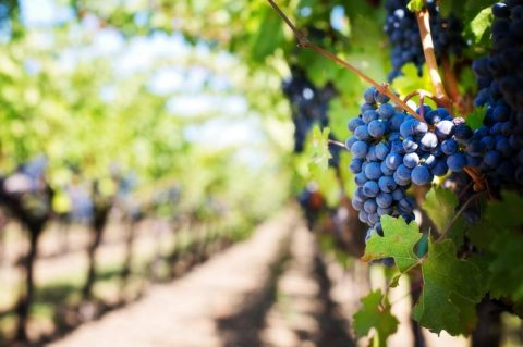 Grape Seed Extract Found to Prevent Tooth Decay and Extends Life of Dental Fillings