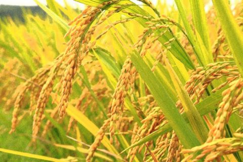 First GM Rice Just Approved By The U.S. FDA